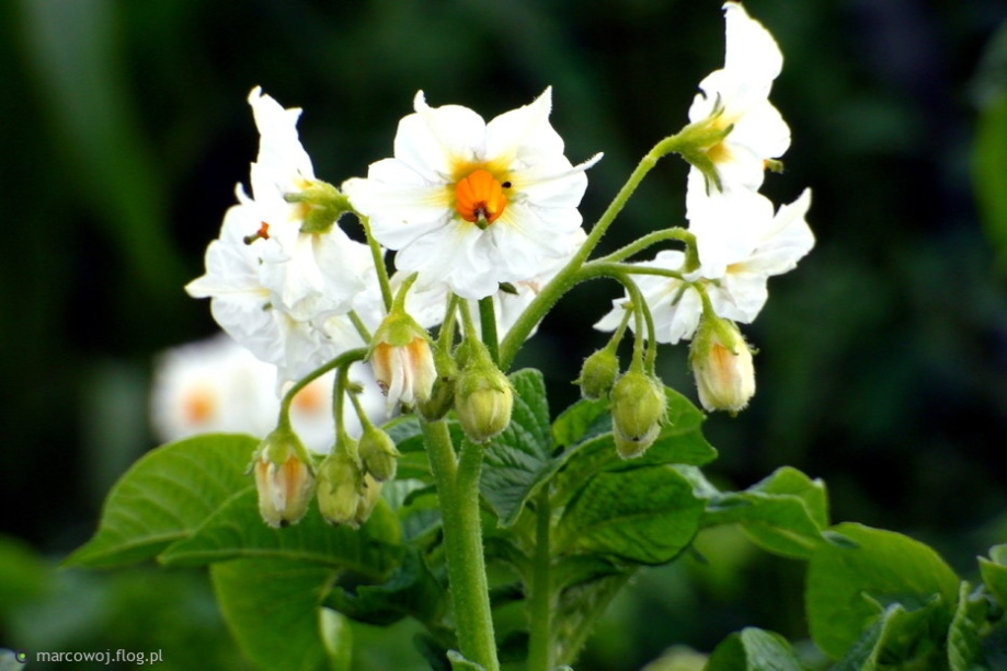 5045173_kwiat-ziemniaka-wraz-z-ciekawa-historia-i-pozdrowieniami-od-poniedzialku