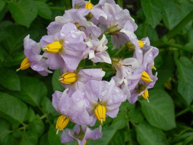 kwiat-ziemniaka