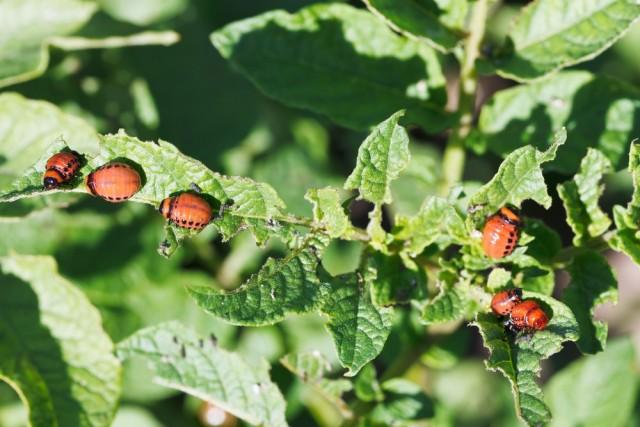 larwy-stonki-ziemniaczanej-640x427