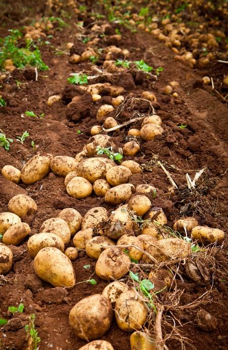 ziemniaki_uprawa3